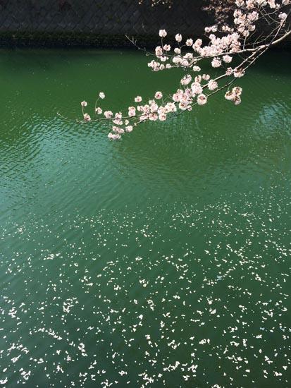 水面に散る桜のはなびら