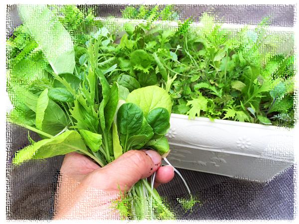 ベランダで栽培している野菜 育ちすぎる前に食べてあげよう