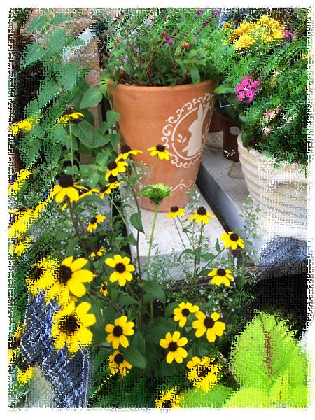 花屋さんの店頭のルドベキア 秋の花で好きな花