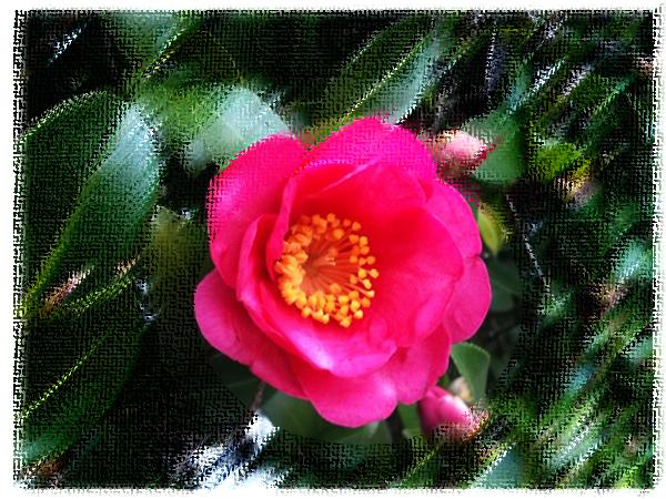 垣根に咲いているサザンカの花