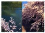 桜は桜。ハナミズキはハナミズキ。咲く時期が違ってあたりまえです。
