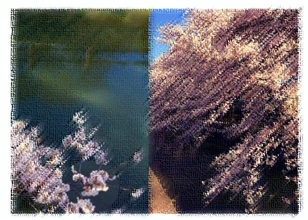 水と桜001