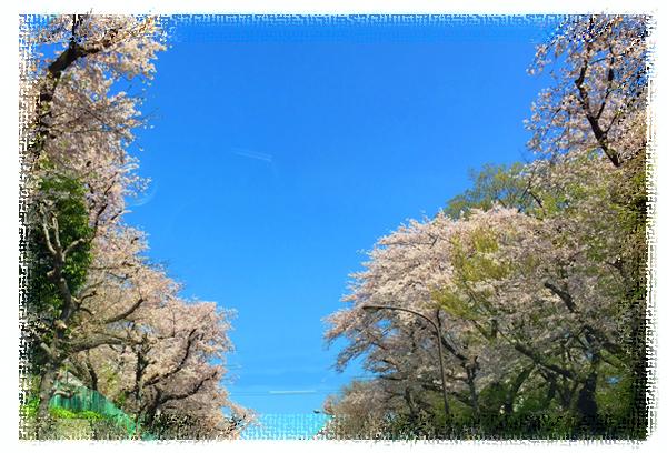 近所の世田谷通りの桜