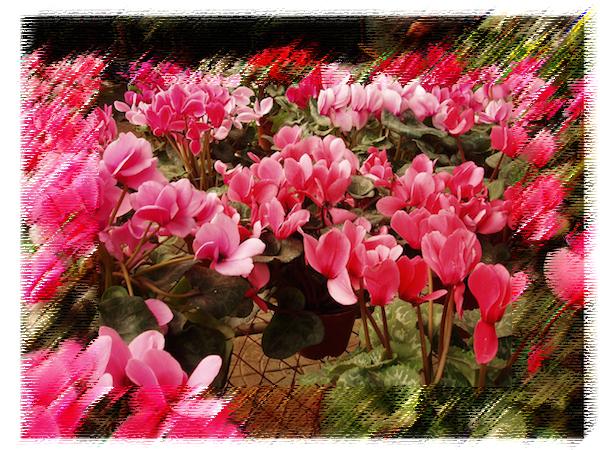 12月に花屋さんに並ぶシクラメンは残念ながら香りはありません 「シクラメンのかほり」という歌があるのにね(笑)