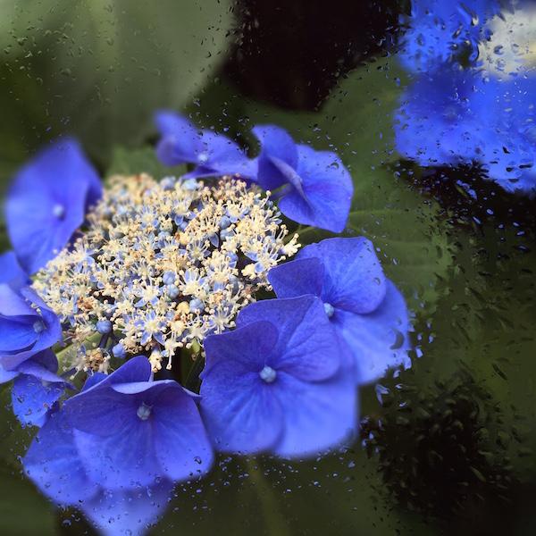 紫陽花には紫陽花の咲く時期がある