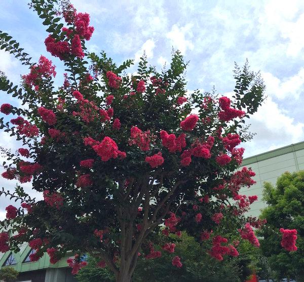 サルスベリ 好きな花木です
